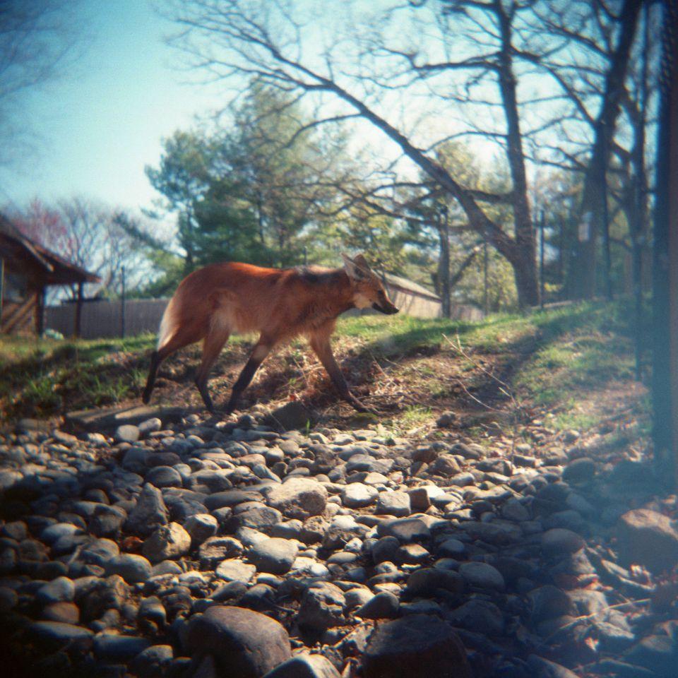 Jennifer Rinchey - Maned Wolf, Holga 120N
