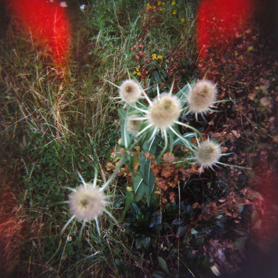 Anna Soper - Teasels at Mile End, London, Holga 120N