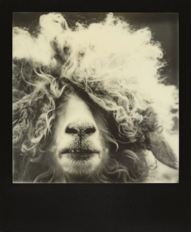 Denise Tarantino - Portrait of Curly Hair Sheep (Second Prize)