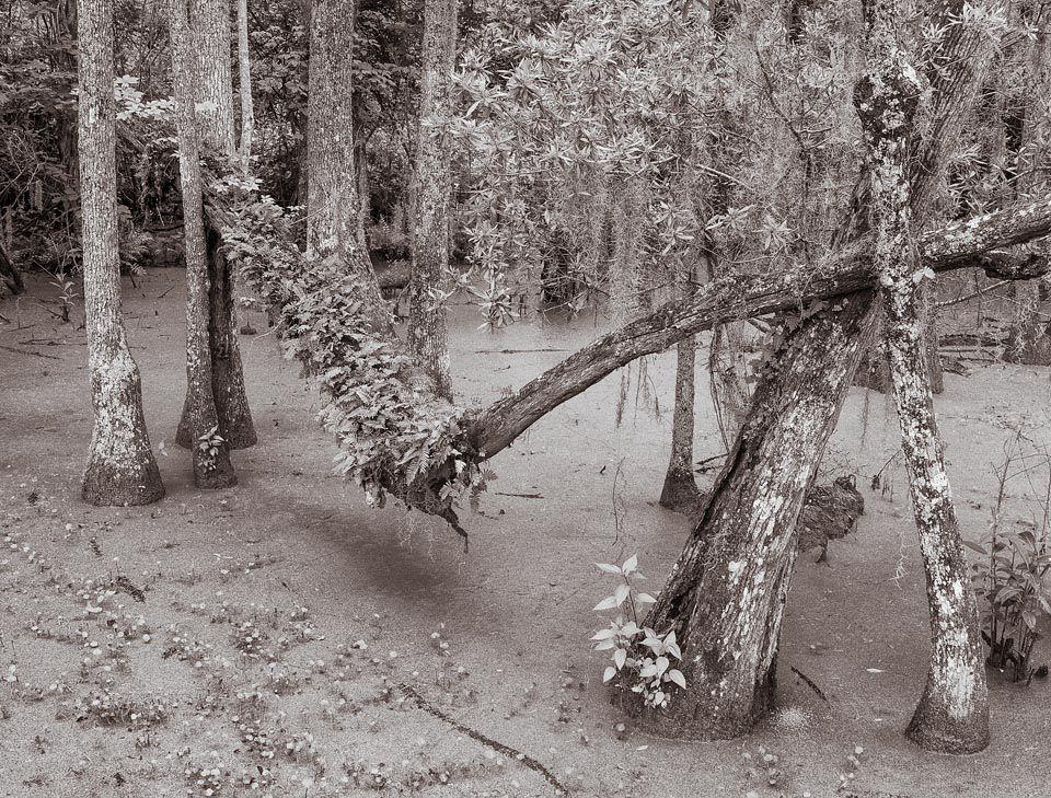 Audubon Swamp, Charleston, South Carolina