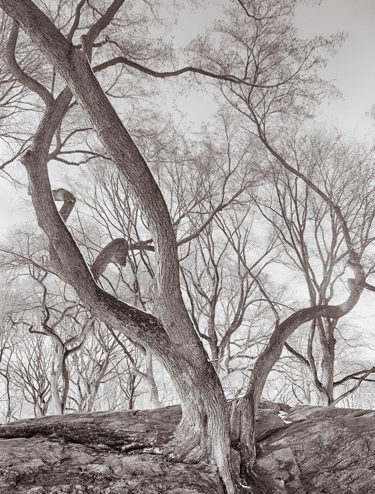 Elm Trees on Rock, Central Park, New York City