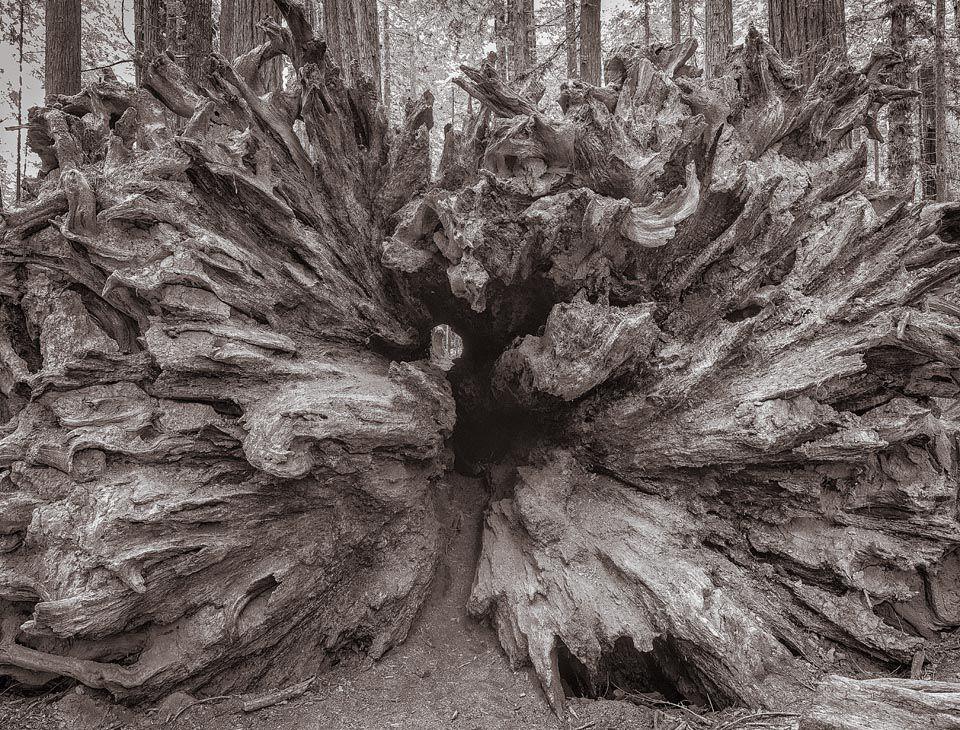 Fallen Redwood, Humboldt County, California
