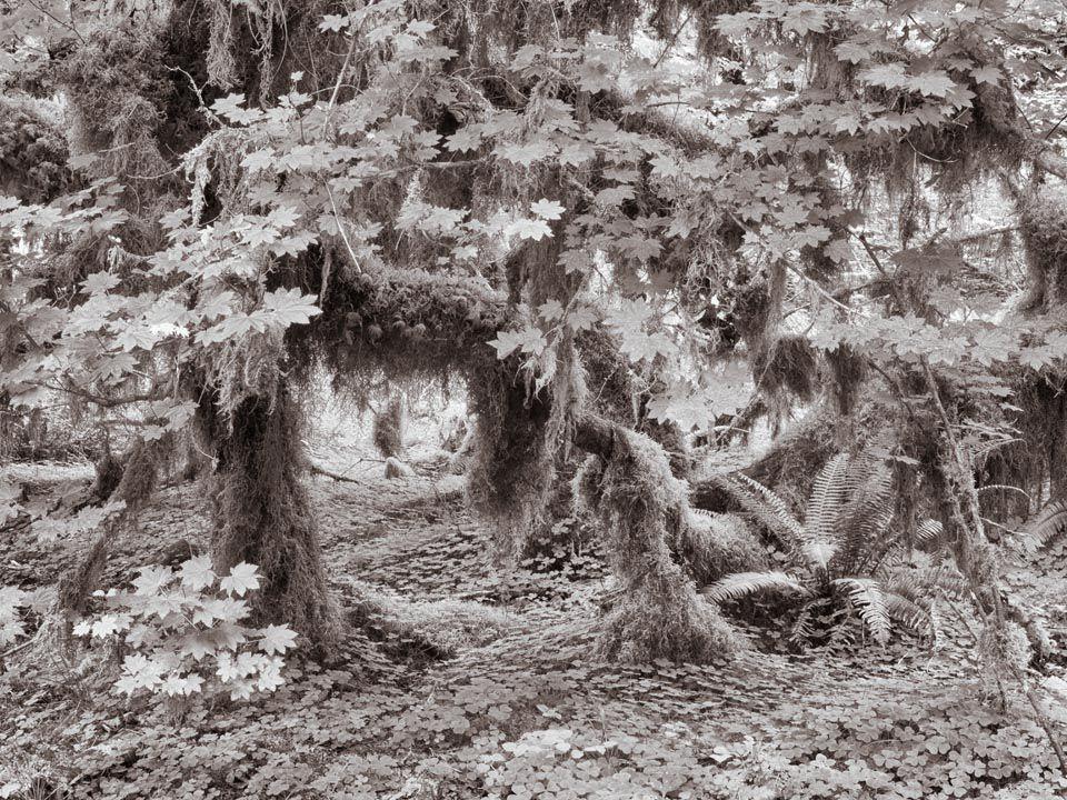 Luxuriant Growth, Hoh Rainforest, Washington