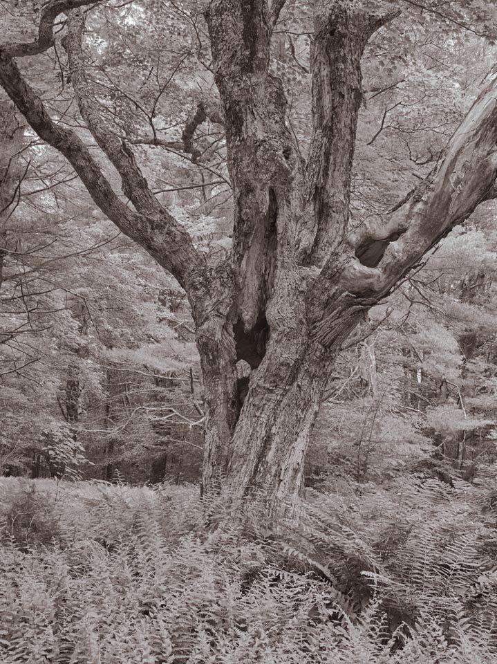 Maple, Steepletop Reserve, New Marlborough, Massachusetts