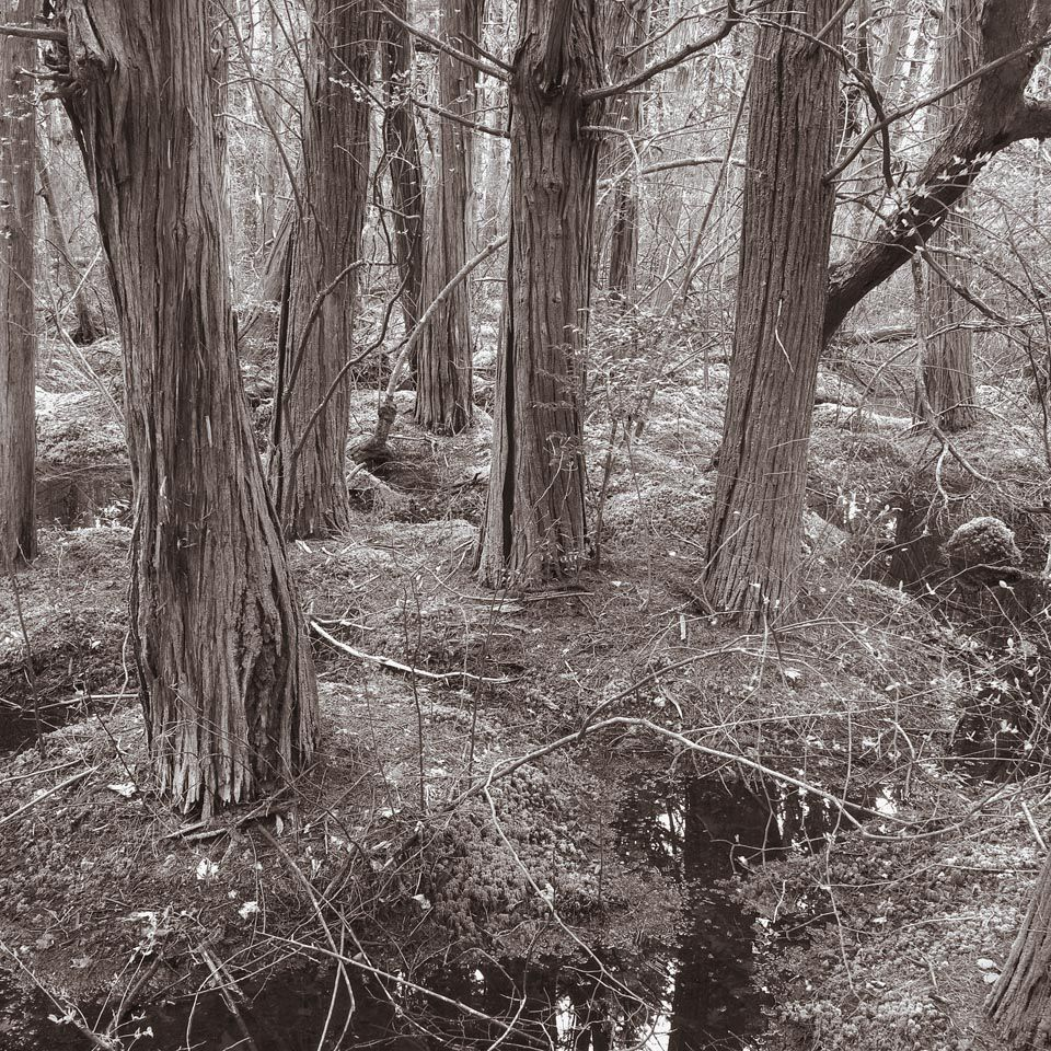 White Cedar Swamp, Wellfleet, Massachusetts