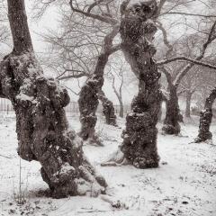 Yoshino Cherry Trees, Central Park, New York City