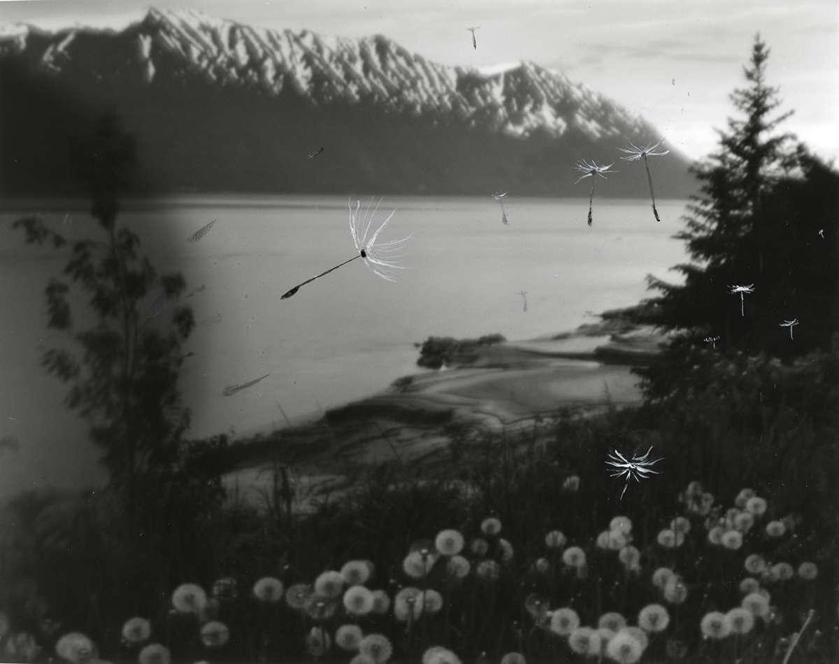 Blowing Dandelion Seeds in Hope, Alaska by Cody Swanson