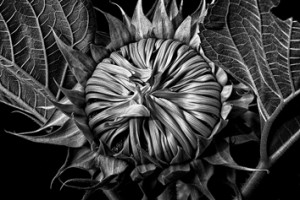 2-Floraphilia in B&W ©Barry Guthertz 2014 Our Sunflower #3